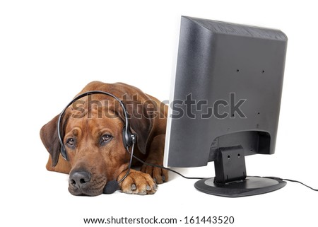 Rhodesian Ridgeback headset in front of a monitor