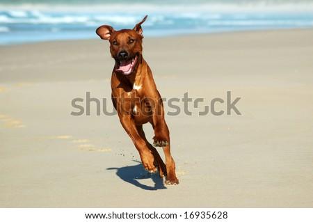 Rhodesian Ridgeback hound dog running on the beach