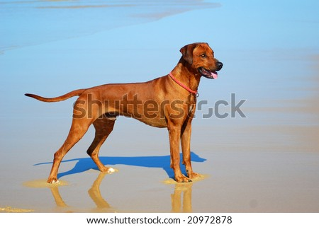 Rhodesian Ridgeback hound dog with alert facial expression standing