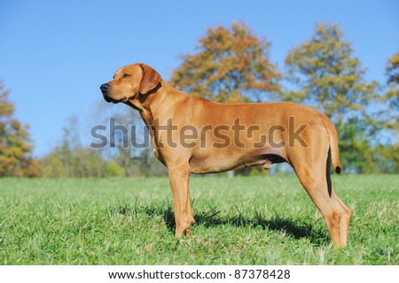 Rhodesian Ridgeback in color red wheaton