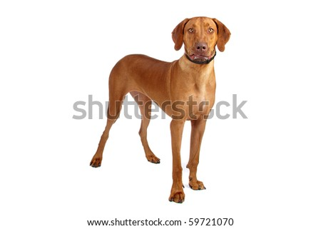 Rhodesian Ridgeback isolated on white