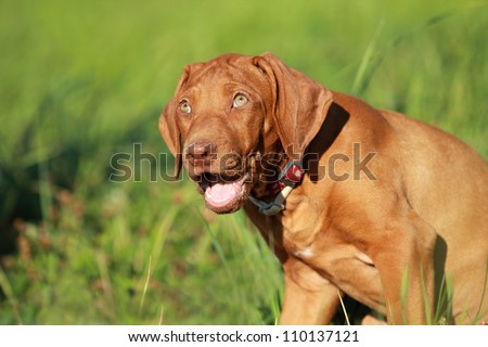 Rhodesian ridgeback liver nosed puppy