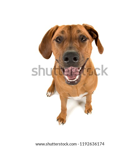 Rhodesian ridgeback looking up straight into the camera isolated on a white backgrond #1192636174