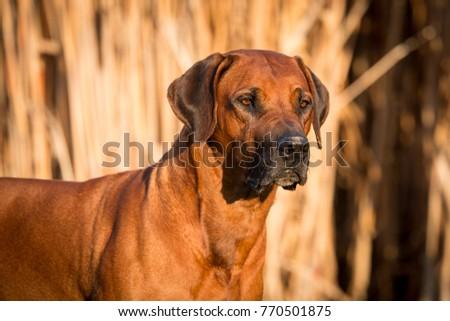 Rhodesian Ridgeback Male Portrait #770501875