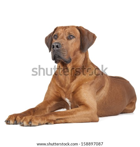 Rhodesian Ridgeback portrait on a white background #158897087