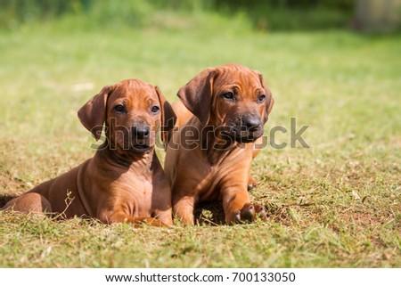 Rhodesian ridgeback puppies. #700133050