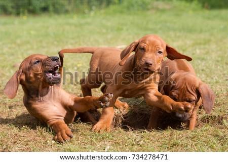 Rhodesian ridgeback puppies playing. #734278471