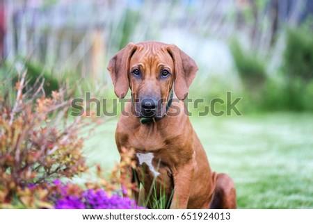 Rhodesian ridgeback puppy.  #651924013