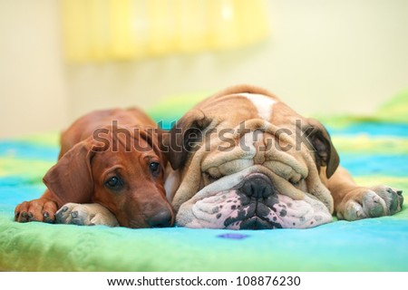 Rhodesian ridgeback puppy and english bulldog best dog friends relaxing on a bed