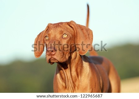 Rhodesian ridgeback puppy portrait - stock photo