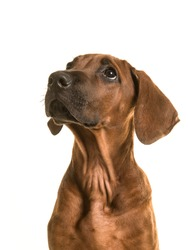 Rhodesian ridgeback puppy portrait looking up isolated on a white background