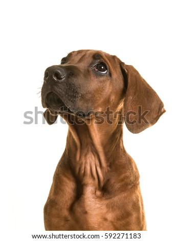 Rhodesian ridgeback puppy portrait looking up isolated on a white background #592271183
