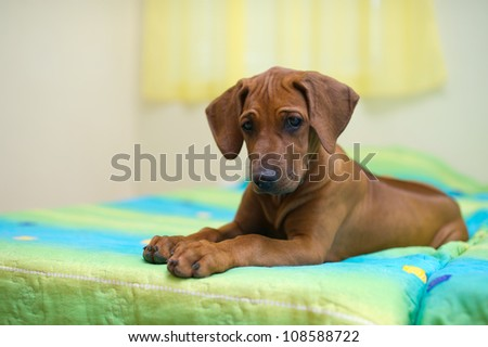 Rhodesian ridgeback puppy relaxing on a bed