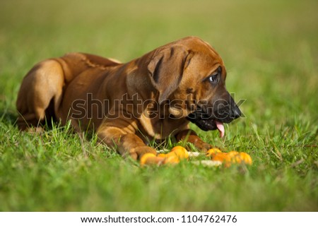 Rhodesian ridgeback puppy with a toy in a meadow #1104762476