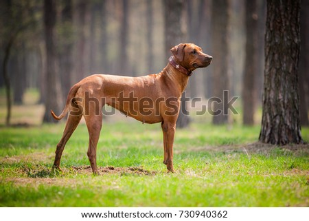 Rhodesian ridgeback walking outdoors. #730940362