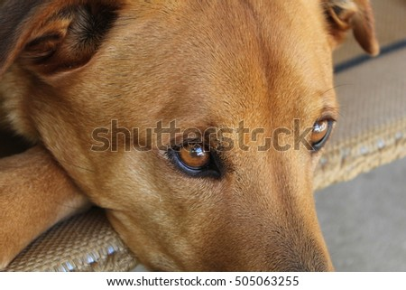 Rhodesian Ridgeback X Rottweiler Relaxing On Dog Bed Secret