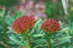 Rhodiola rosea commonly called arctic root, golden root, rose root, king's crown