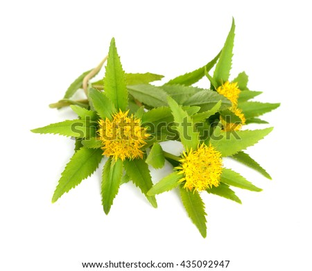 Rhodiola rosea (commonly golden root, rose root, roseroot, western roseroot, Aaron\'s rod, Arctic root, king\'s crown, lignum rhodium, orpin rose). Isolated on white background.
