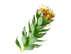 Rhodiola Rosea Medicinal Flower Plant. Also Known as Golden Root, Rose Root, Roseroot, Aaron's Rod, Arctic Root, King's Crown, Lignum Rhodium, Orpin Rose. Isolated on White.