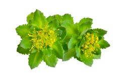 Rhodiola rosea or golden root, rose root, roseroot, Aaron's rod, Arctic root, king's crown, lignum rhodium, orpin rose