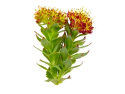 Rhodiola Rosea or Golden Root, Rose Root, Roseroot, Aaron's Rod, Arctic Root, King's Crown, Lignum Rhodium, Orpin Rose. Isolated on White.