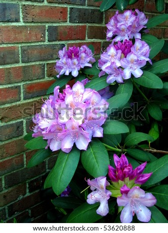 Rhododendron Against Brick Wall
