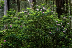 Rhododendron and redwood trees, Del Norte Redwoods State Park, California