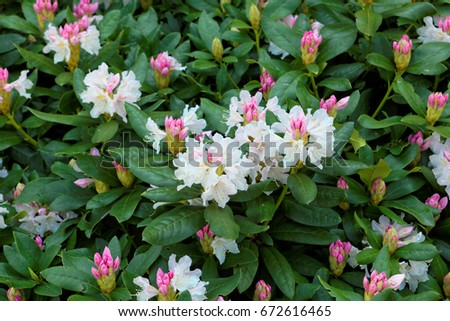 rhododendron, background with flower