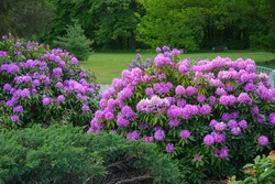 Rhododendron ,beautiful blooming azalea - flowering decorative shrubs