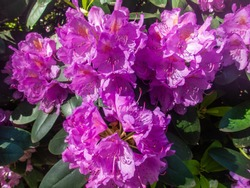 Rhododendron blooming flowers in the spring garden. Beautiful pink Rhododendron close up