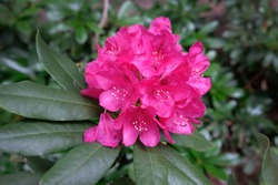 Rhododendron blooming flowers in the spring garden. Pacific rhododendron or California rosebay evergreen shrub. Beautiful pink Rhododendron close up