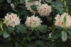 Rhododendron 'Cunningham's White'. Rhododendrons form one of the biggest botanical class of flowering plants.There are about 1000 species of Rhododendrons, ranging from small shrubs to tall trees.