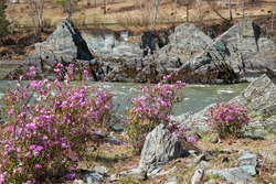 Rhododendron dauricum bushes with flowers (popular names bagulnik, maralnik). On background are river Katun and  rocks called Dragon's teeth, Dragon crest, or Sartakpai Arrows Altai, Siberia, Russia.