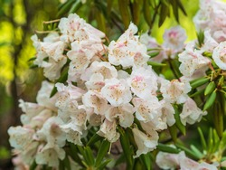 Rhododendron decorum, the great white rhododendron in bloom