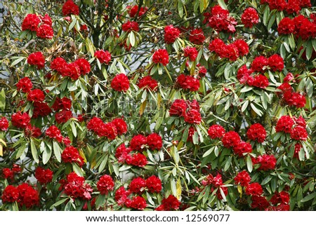 rhododendron flower background in annapurna, nepal