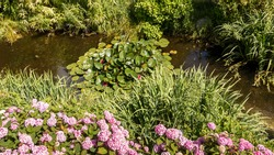 Rhododendron flowers in purple colors, Small lake with water lilies flowing in over the surface, green foliage around