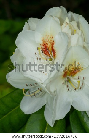 Rhododendron Graffito Flower Close up