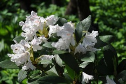 Rhododendron hybrid Cunningham's White blooms in the garden in early spring