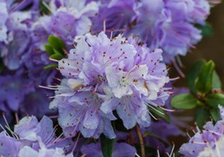 rhododendron impeditum Azurika, dwarf shrub with bluish broad-elliptical leaves and dense crown, flowers of violet-blue hue, spring, growing in nature, garden, bunches of flowers in full bloom