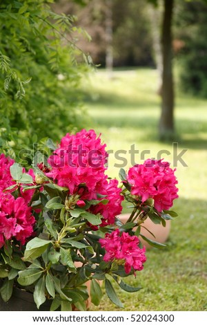 Rhododendron in the garden