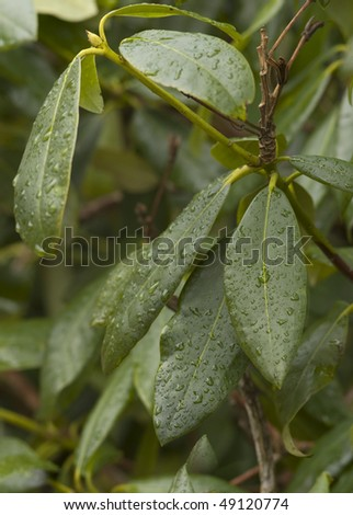 Rhododendron leaves - stock photo