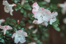 Rhododendron maximum, tender pink flowers blooming in garden.Rhododendron decorum, the great white rhododendron in bloom.