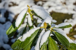 Rhododendron ponticum (pontic rhododendron) with green flower buds covered with white fluffy snow. Early spring theme.