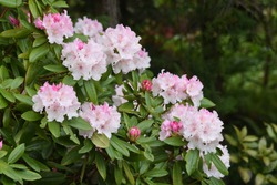 Rhododendron (Rosebay) blossoms / Ericaceae evergreen shrub,leaves toxic.