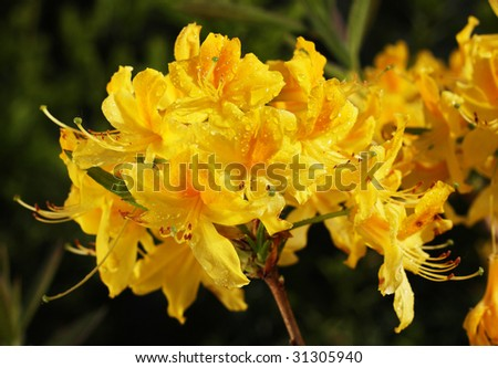 Rhododendron yellow blossom