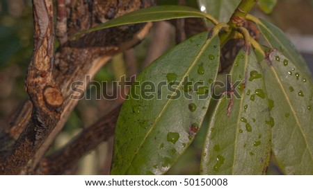 Rhododendronn leaves