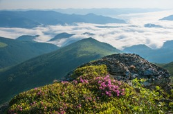 Rhododendrons bloom in a beautiful location in the mountains. Flowers in the mountains. Blooming rhododendrons in the mountains on a sunny summer day. Foggy morning.