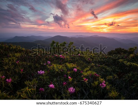 Rhododendrons blooming on top of the Blue Ridge Parkway under an amazing sunset #675340627
