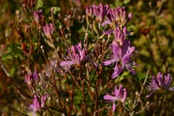 Rhodora. Rhododendron canadense. Witless Bay, Newfoundland, Canada. 21 June 2015