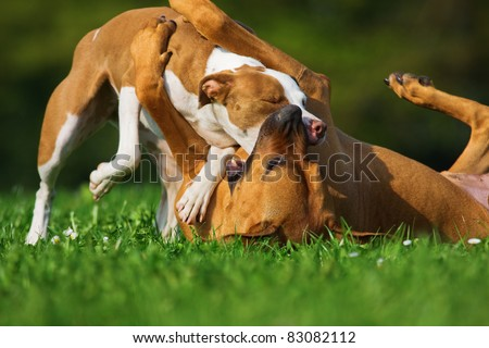 Rhoedesian Ridgeback in clinch with a Ibizan hound mix
